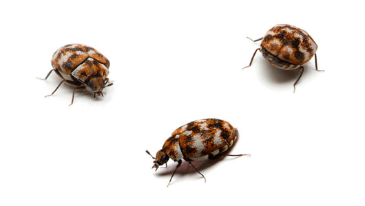 Pest Control Carpet-Beetles